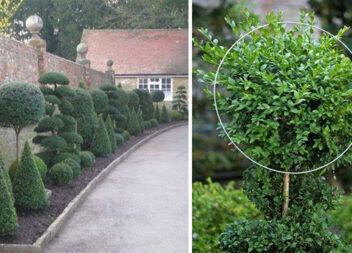 Наводимо порядок у садку: підстригаємо декоративні кущі та дерева
