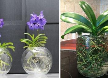 Найефективніший і простий спосіб вирощування орхідеї в воді