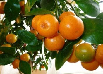 Виростити мандаринку з кісточки простіше, ніж здається!