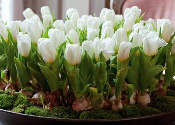 Вирощуємо тюльпани вдома без ґрунту