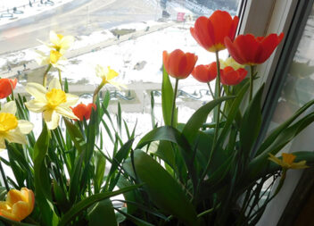 Весна на моєму балконі – про вирощування весняних цибулинних в домашніх умовах