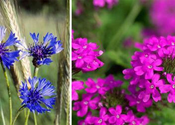 Які однорічні квіти можна посіяти весною одразу в ґрунт?