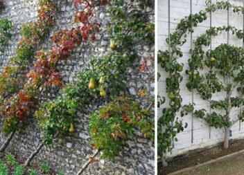 Як виростити кущ чи дерево цікавої форми. Ідеї для саду