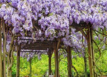 19 прекрасних витких рослин для пергол та альтанок