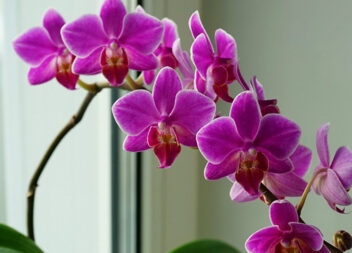 Незвичайна пересадка орхідеї в систему без субстрату