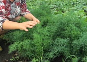 Як сіяти кріп в липні та серпні, щоб швидше зібрати урожай
