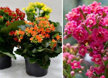 Навіть каланхое зацвіте: нескладні правила, які забезпечать рясне цвітіння рослині