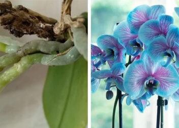 Як повернути орхідею до життя за допомогою кислоти. Рослина нарощує коріння та цвіте як і раніше