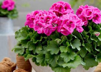"""Тільки 1 ч. л. """"добрива"""", внесеного при поливі і кімнатна рослина пишно зацвіте"""